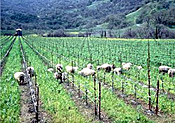 Sheep roam freely on a vineyard at Ceago Vinegarden