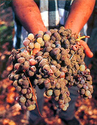 Botrytis-affected grapes at Dolce