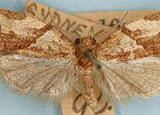 light brown apple moth