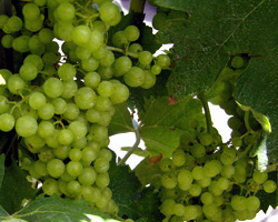 Wine grapes in a French vineyard