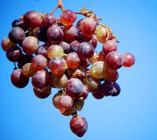 "The newly engineered ""supervines"" produce grapes with six times the normal amount of resveratrol, which has many health benefits."