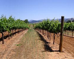 A view of one of J Wine Company's vineyards in California