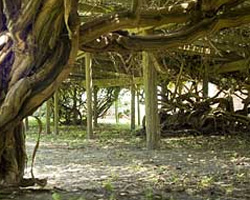The Mother Vine on Roanoke Island, North Carolina