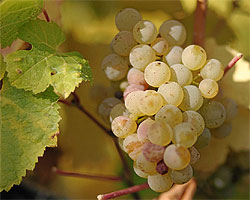 German Riesling grapes were used in a recent study, which concluded that terroir plays a large part in determining the character and taste of wine.