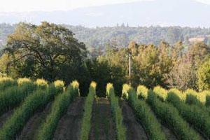 The Dutton-Goldfield Manzana Vineyard grows grapes for Pinot Noir