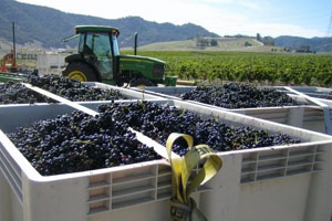 The grape harvest at Topanga Vineyards
