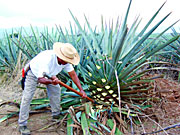 A jimador carefully cuts away thorns from a blue agave plant