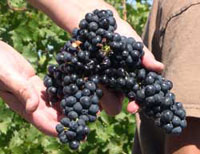 The varietal characteristics of Zinfandel are often described as berryish